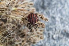 Red striped Graphosoma lineatum/Graphosoma semipunctatum Stock Images