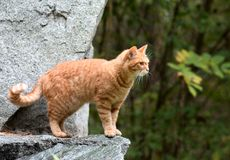 Red striped lonely homeless cat. The red cat walking in the park. Red striped homeless cat. nThe red cat walking in the green summer park stock photos