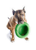 Red striped pit bull with a hat in his teeth. Isolate with shadow on white background. Royalty Free Stock Images