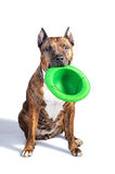 Red striped pit bull with a hat in his teeth. Isolate with shadow on white background. Stock Photography