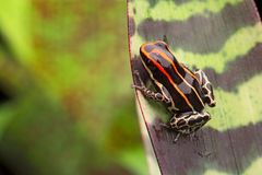 Red striped poison arrow frog Stock Photo
