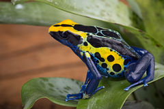 Red striped poison arrow frog stock photography