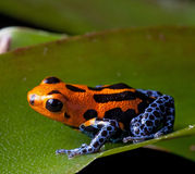 Red striped poison dart frog blue legs. Of amazon rain forest in Peru, poisonous animal of tropical rainforest, pet in terrarium Royalty Free Stock Photos