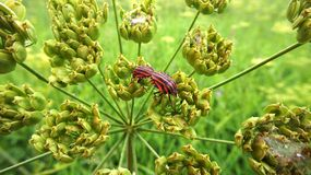Red striped shield bugs mating on the flower Royalty Free Stock Photo
