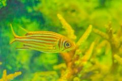 Red Striped Squirrel fish (Sargocentron rubrum) also known as re. Dcoat, is a member of the family Holocentridae of the order Beryciformes. Squirrelfish in Royalty Free Stock Images