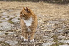 Red-striped with white spots, the cat stands on an old pavement Stock Images