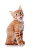 Red striped yawning kitten. Royalty Free Stock Images