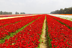 Red stripes of asian buttercup Royalty Free Stock Images