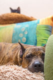 Red stripped dog lying on armchair with cats. Stock Photo
