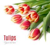 Red stripy tulips on white, text space Royalty Free Stock Image