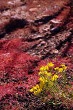 Red succulent and bright yellow desert wildflowers, Stock Photography