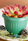 Red succulent in a green flowerpot Stock Photo
