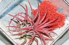 Red succulent Haworthia with red moss and shell glass pot. Royalty Free Stock Image
