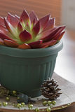 Red succulent in a pot Royalty Free Stock Photos