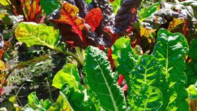 Red and sugar beet growing. On a home bed on a summer sunny day, filmed using zooming and moving the camera stock video