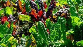 Red and sugar beet growing. On a home bed on a summer sunny day, shot in high resolution 4k stock video footage