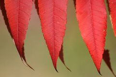 Red Sumac Leaves in Autumn Stock Images