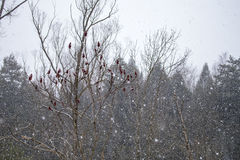 Red sumach flowers during snowfall Stock Photography