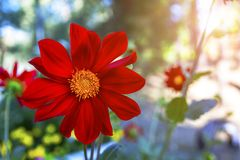 Red summer flower close-up in natural conditions. Summer flower close-up in natural conditions royalty free stock photos