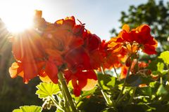 Red summer flowers in a garden. Red summer flowers with the sun shining from behind royalty free stock images