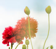 Red summer garden flowers at sky background Royalty Free Stock Photo