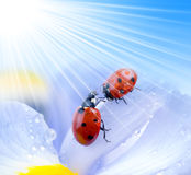 Red summer lady bug Royalty Free Stock Photo