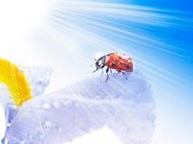 Red summer ladybug Royalty Free Stock Images