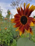 Red sun flower stock photo