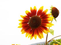 Red Sun flower Royalty Free Stock Image