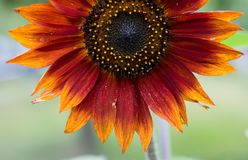 Red Sunflowe. Flower: Red Sunflower, Helianthus annuus Royalty Free Stock Image