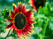 Red Sunflower Stock Photos