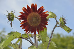 Free Red Sunflower Royalty Free Stock Photo - 96422645