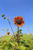 Red sunflower Royalty Free Stock Image