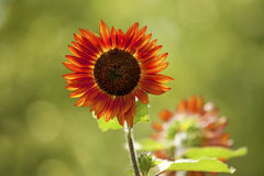 Red Sunflower with back lighting Royalty Free Stock Images