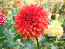 Red dalia flower Stock Images