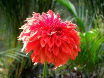 Red dalia flower. The beautiful red dalia flower at garden in winter Stock Photos