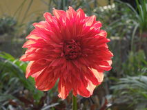 Red dalia flower. The beautiful dalia flower at garden in winter Royalty Free Stock Photo