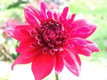 Red dalia flower. The beautiful dalia flower at garden in winter Stock Photo
