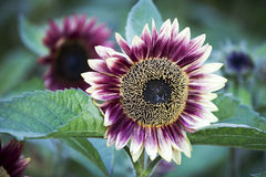 Red sunflower Royalty Free Stock Photography