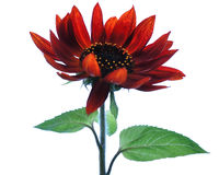 Red sunflower blossoms Royalty Free Stock Photography