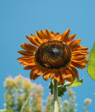 Red sunflower Royalty Free Stock Images