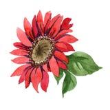 Red sunflower. Floral botanical flower. Isolated illustration element. Aquarelle wildflower for background, texture, wrapper pattern, frame or border stock image