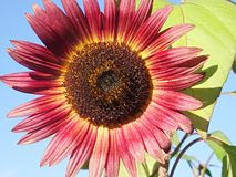 Red sunflower. In a garden in autumn Stock Images