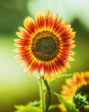 Red Sunflower  on green nature, close up Stock Image