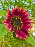 Red Sunflower, Helianthus annus Stock Images