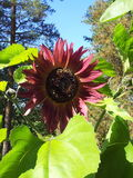 Red sunflower. Helianthus annuus, Paquito sangria Royalty Free Stock Image
