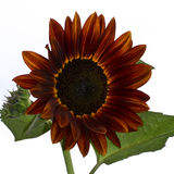 Red Sunflower (Helianthus annuus) Stock Images