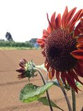 Red Sunflower. Sunflower on a hot summer day Stock Photography