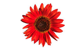 Red sunflower isolated on white background, clipping path included Stock Photo