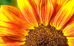 Red Sunflower Macro Stock Photos